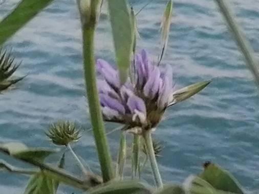 Tamaralorenamunoz en Hamelin: Flora  (Benalmádena), Bituminaria bituminosa, #flora21 #benalmadena