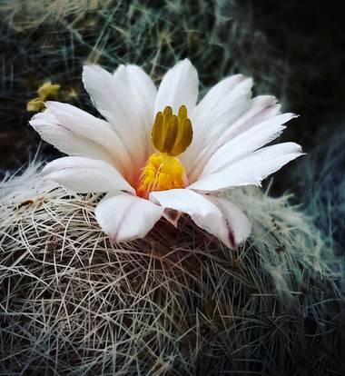 Navarroarevalomariateresa en Hamelin: Flora  (Viesca), Bella y delicada flor de cactus..