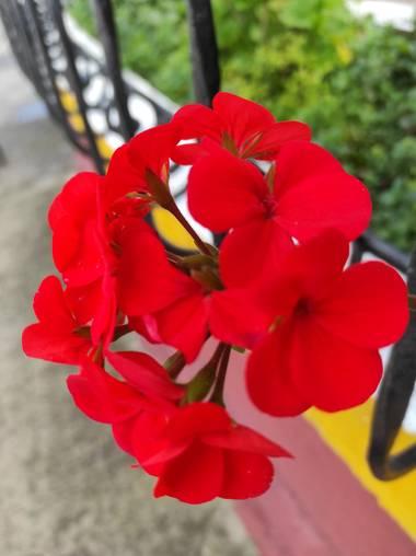 Zaynab en Hamelin: Flora  (Bogotá, D.C.), Rojo intenso
