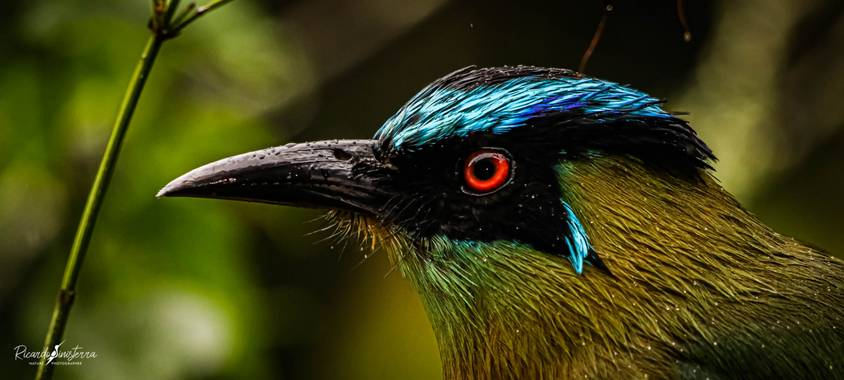 sinisterra2009 en Hamelin: Fauna  (Cali), Momotus aequatorialis Gould, 1858, Barranquero  (Momotus aequatorialis) Colombia Valle del Cauca  #Aves21