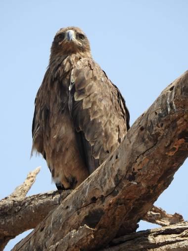 olaya96fg en Hamelin: Fauna  (Kajiado), #Aves21