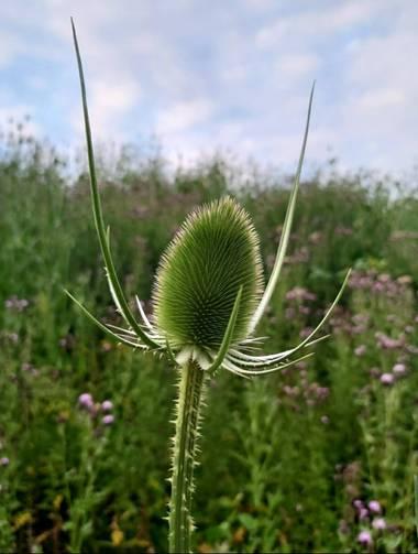 Yesicav537 en Hamelin: Flora  (Glasgow City), Dipsacus fullonum