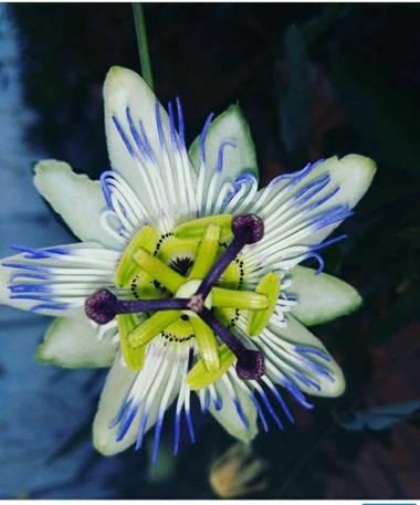 Nohokai.sk en Hamelin: Flora  (Madrid), Passiflora caerulea, Flor