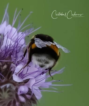 Cristobal.cadenas en Hamelin: Flora  (Mollet del Vallès), Phacelia tanacetifolia, #flora21  #floralphotography  #macro_love