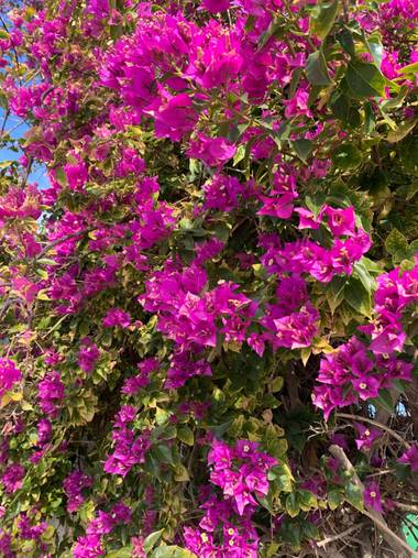 carogv1995 en Hamelin: Flora  (Albudeite), Bougainvillea glabra, #rosarosae #naturaleza  Mira profundamente en la naturaleza y comprenderás todo mejor! ~Ei...