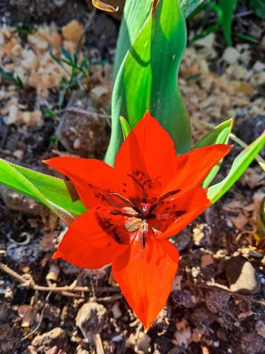 Marijohz en Hamelin: Flora  (Ezcaray), Tulipa praestans, Belleza roja en primavera ❤