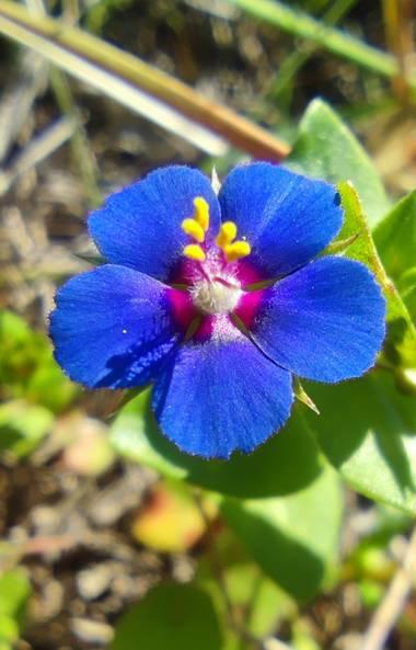 aidalzira en Hamelin: Flora  (Llíber), Lysimachia arvensis, Habita en terrenos cultivados, zonas baldías y dunas en toda Europa, donde es considerada una m...