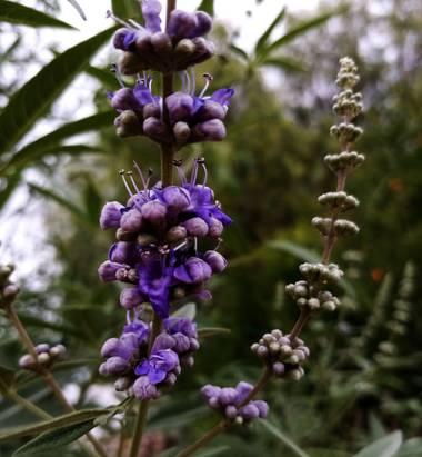 Navarroarevalomariateresa en Hamelin: Flora  (Viesca), Vitex agnus-castus, Esta es la floración de un árbol del cuál desconozco su nombre...me lo han regal...