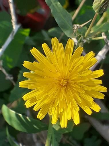 KDias en Hamelin: Flora, Sonchus tenerrimus, 😍