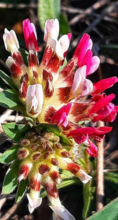 Jvizper en Hamelin: Flora, Anthyllis vulneraria, #flora21