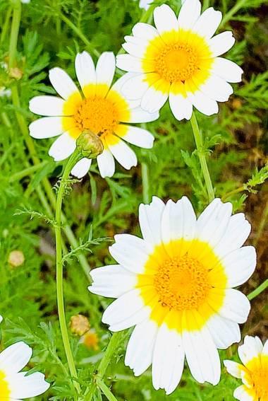 su en Hamelin: Flora  (Gelves), Glebionis coronaria, De paseo por el campo