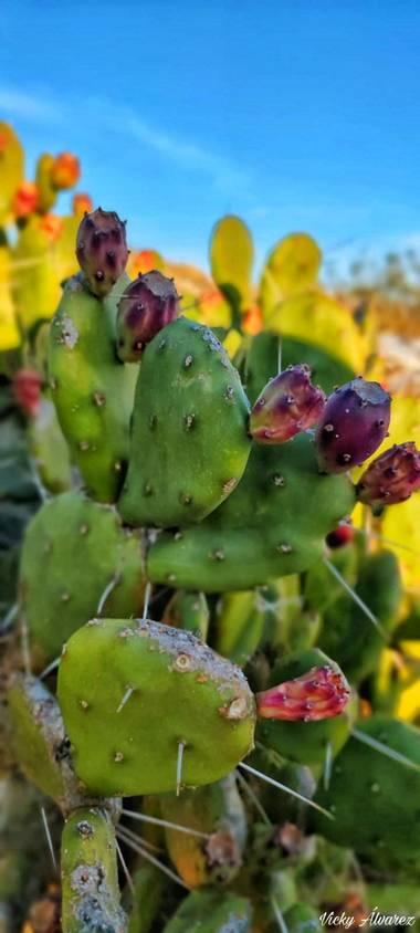Vicky Álvarez  en Hamelin: Flora  (Botorrita), Captus #planta #flora #flor #puas