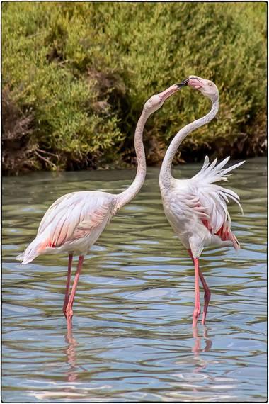 Breogan654 en Hamelin: Fauna  (Calp), En las Salínas de Calpe (Parque protegido) anidan y se alimentan una gran colonia de flamencos. Unos están de paso ha...