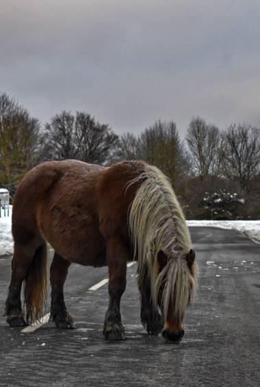 Henar en Hamelin: Fauna  (Navarra), #fauna #invierno20 #caballo #nieve