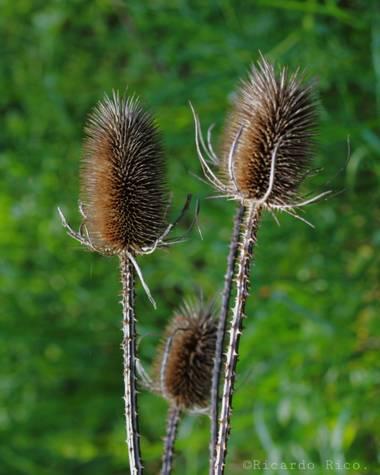 Rricoparrillas en Hamelin: Flora  (Dosrius), Que este seco, no quiere decir que no sea bello.