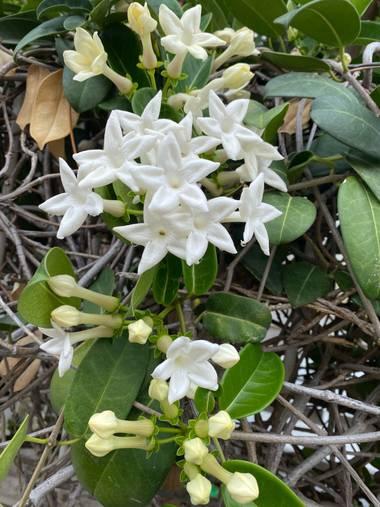 Zetadeuve en Hamelin: Flora  (Santa Cruz de Tenerife), Stephanotis floribunda, #flora21  #tenerifelicidad