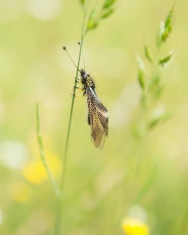 Alvarolopezmar en Hamelin: Fauna  (Navacerrada), Especie endémica de la península ibérica