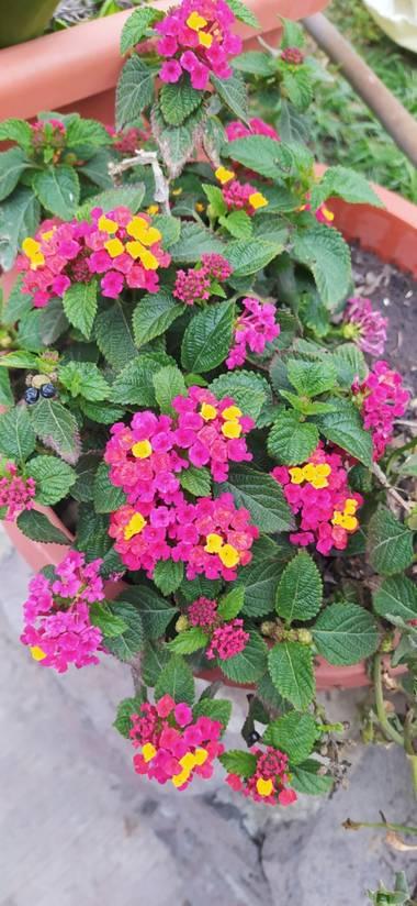 Daymartinezz2000 en Hamelin: Flora  (San Pablo de las Salinas), Lantana camara, #naturaleza