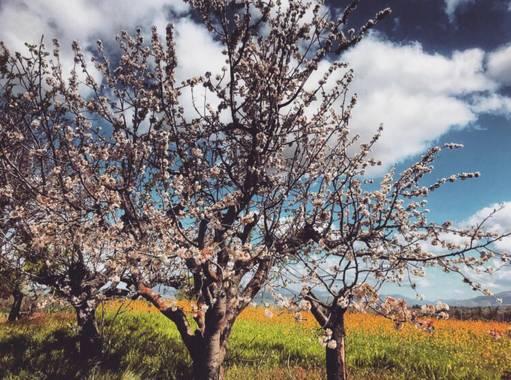 Lorenagdown en Hamelin: Flora  (Vegas del Genil), Prunus dulcis