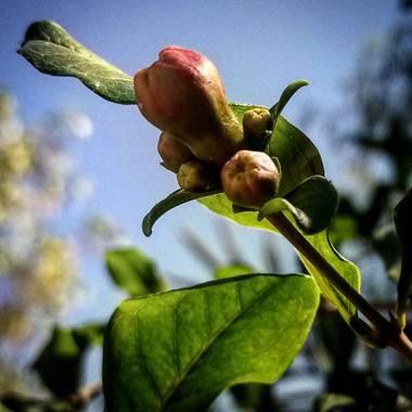 Navarroarevalomariateresa en Hamelin: Flora  (Viesca), Poco a poco se llena de colorido el árbol de granado..