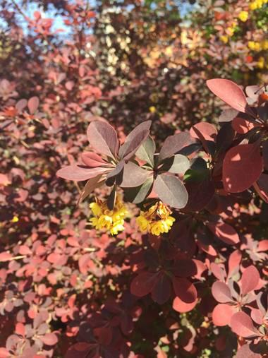 Marisol🍀 en Hamelin: Flora, Berberis thunbergii, #disfrutandodelanaturaleza
