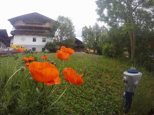 Danihorvath en Hamelin: Flora, Papaver orientale
