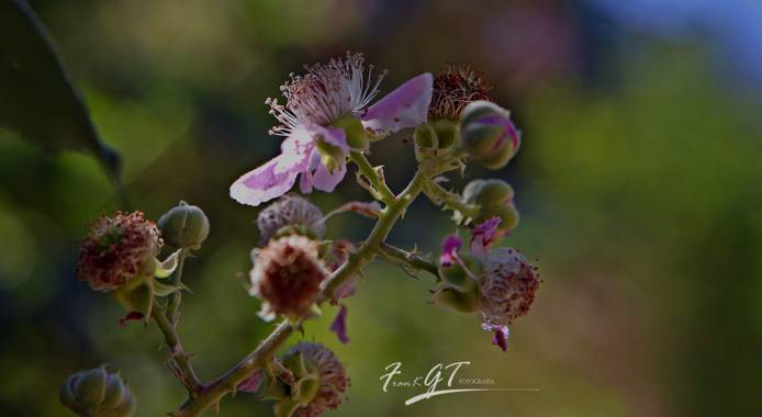 Frankgt48 en Hamelin: Flora  (San Agustín del Guadalix), #flora21