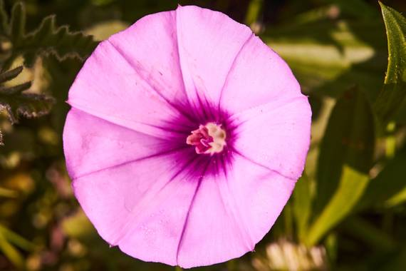 Juanma Espinosa en Hamelin: Flora  (Benahavís), Convolvulus althaeoides, #macro #flora #colores #primavera