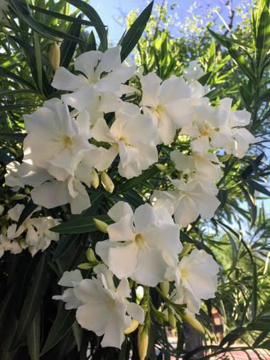 Erikalan9 en Hamelin: Flora  (Sant Cugat del Vallès), Nerium oleander