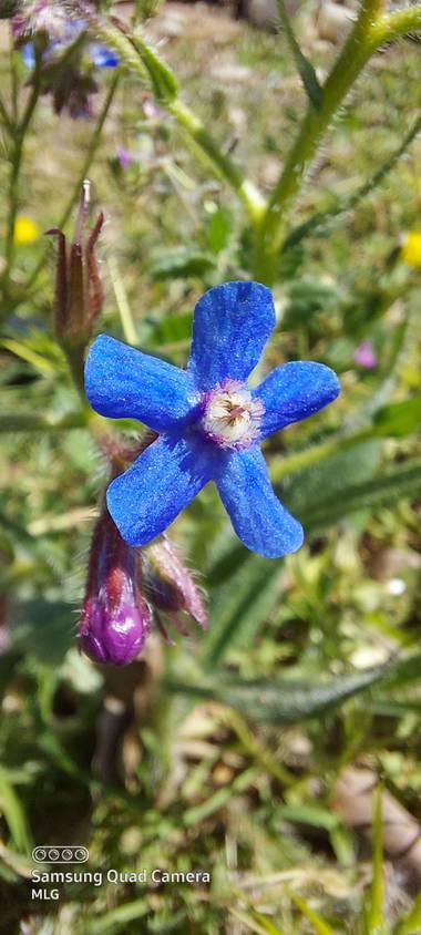 Apasnau75 en Hamelin: Flora  (Pizarra), Anchusa italica, De la familia de las Boraginaceae. Comúnmente llamada lengua de buey.