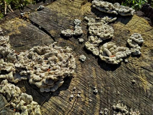 Janohermontse en Hamelin: Observación  (Albons), Hongos