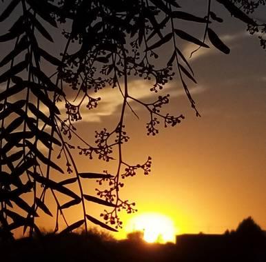 Navarroarevalomariateresa en Hamelin: Paisaje  (Viesca), Bella tarde...bello atardecer!! Las flores del pirul forman bellos racimos y sus hojas caen como l...