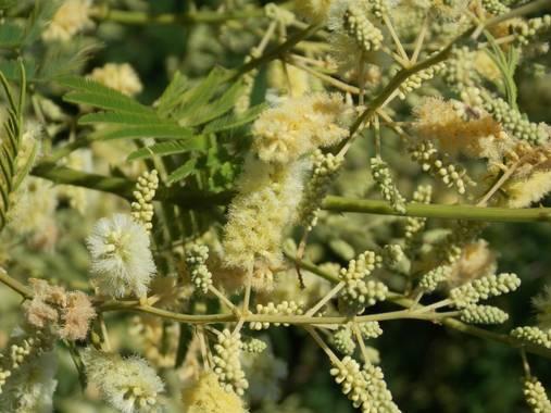Juani✨ en Hamelin: Flora  (Victoria), Acacia mearnsii, El Ñapinda o Uña de gato, es un arbusto con pequeños aguijones que te atrapan al tocarlo.#flora21