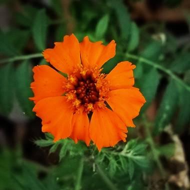 Olguin.jao en Hamelin: Flora  (Tres Valles), Flor de muertos