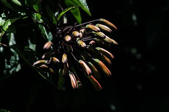 Franciss RNR  en Hamelin: Flora  (Pimampiro), #flora21