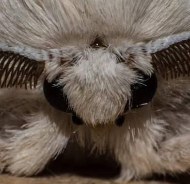 rubenms77 en Hamelin: Fauna  (Murcia), Mariposa del gusano de seda #macro #mariposadelgusanodeseda