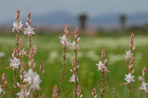 Azulmarino  en Hamelin: Flora  (El Prat de Llobregat), Asphodelus fistulosus, Varita de San José #frommypointofview #flores #varitadesanjose #primavera