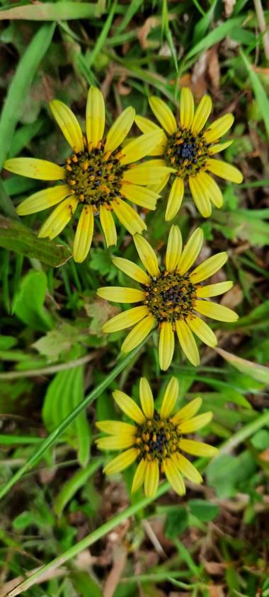 Alandree9 en Hamelin: Flora, Arctotheca calendula