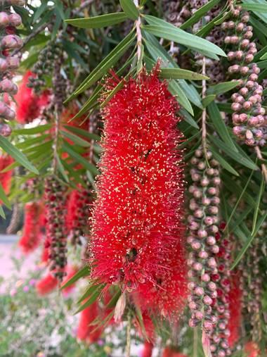 carogv1995 en Hamelin: Flora  (Archena), #flora21 #rojointenso #maravillasdelanaturaleza
