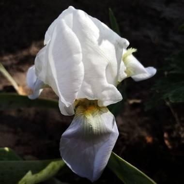 Navarroarevalomariateresa en Hamelin: Flora  (Viesca), Iris albicans, Hermoso lirio!