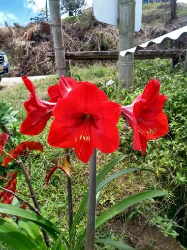 anjofear en Hamelin: Flora  (Bugalagrande), Hippeastrum reginae, #flores