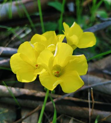 Ioana Trif en Hamelin: Flora  (Rociana del Condado), Oxalis pes-caprae, Trébol amarillo #flora21 #arboreto #floramarilla
