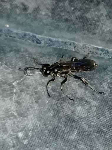 rintadio en Hamelin: Fauna, Al tomarla y observarla, pude notar similitudes con la de una mosca ordinaria, aunque tenia rasgos de avispa u hormiga, un her...