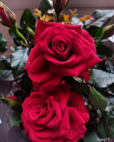 Geñi en Hamelin: Flora  (Madrid), Rosa chinensis, #flora21