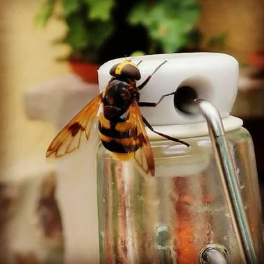 Latortugablue en Hamelin: Fauna  (Paterna), ¿Díptero o himenóptero?🤔 ¿Mosca o abeja?🤔 ¿Advertencia o disfraz? 🤔 No todo es lo que parece.  #sírfido  #dí...