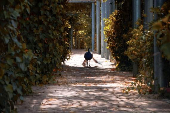 carmen.guerra1997 en Hamelin: Fauna  (Sevilla), Pavo real andando por el pasillo de forma magestuosa #aves21  #hamelin21