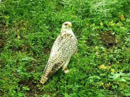 olaya96fg en Hamelin: Fauna  (Santillana del Mar), Falco rupicoloides A.Smith, 1829, #Aves21