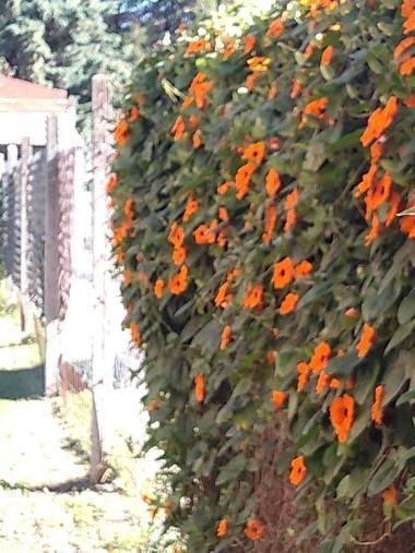 GrachuV. en Hamelin: Flora, Thunbergia alata, Maravillosamente bellas...