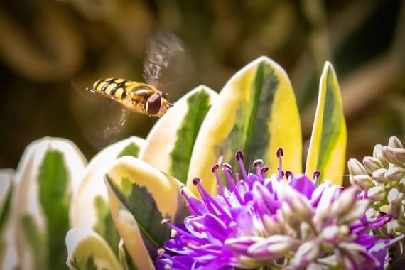 jomartinezfranco en Hamelin: Fauna  (Vegas del Genil), Mosca de las flores, buscando la suya para libar su polen #mosca #insecto #diptero #macro