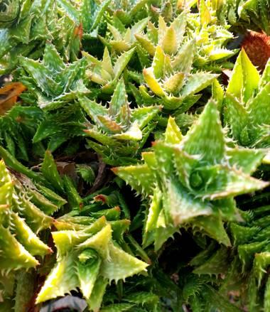 pbebo en Hamelin: Flora  (Valencia), #cactusysuculentas 🌵
